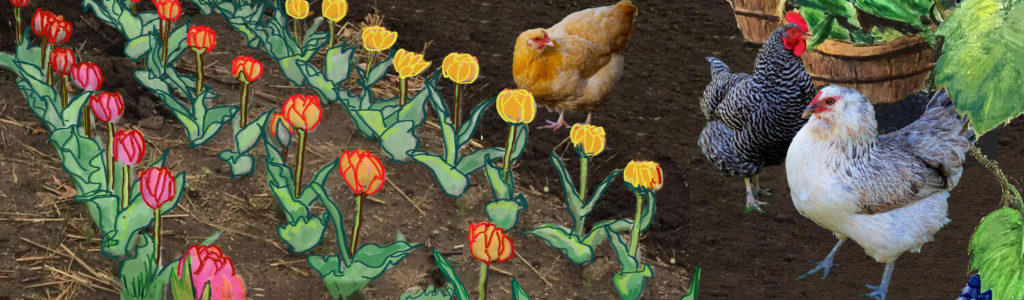 Chickens and tulips